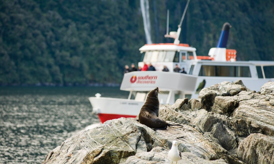 Checking out some New Zealand fur seals on our Milford Sound Encounter Nature Cruise v2
