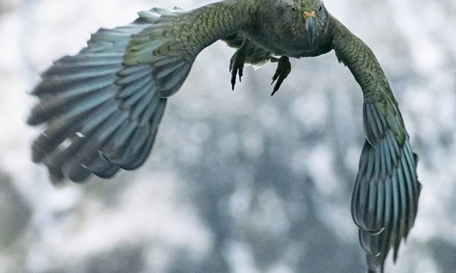 Kea in flight Douglas Thorne